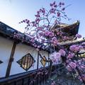 佐賀高伝寺の梅♪