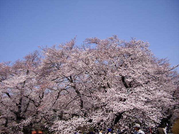 桜 2015