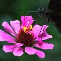 蝶のランチ