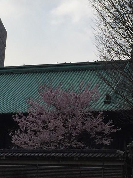 湯島桜さいてる