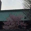 写真: 湯島桜さいてる