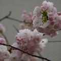 ふわふわの桜