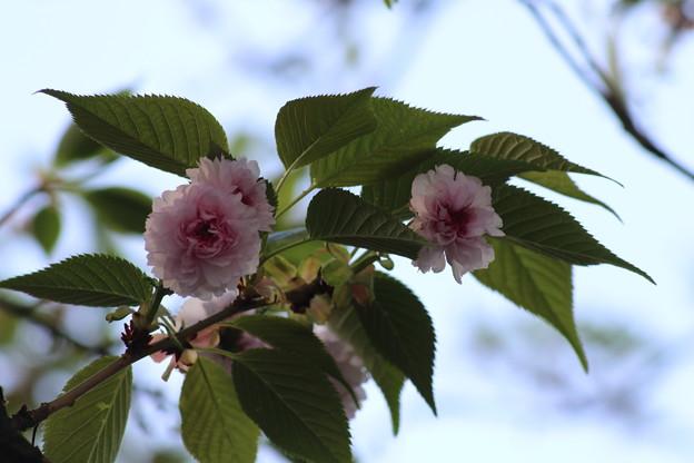 八重の菊桜