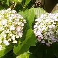 写真: 渦紫陽花