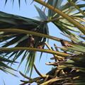 Photos: 南国のムクドリ