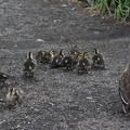 カルガモ雛9羽のお散歩