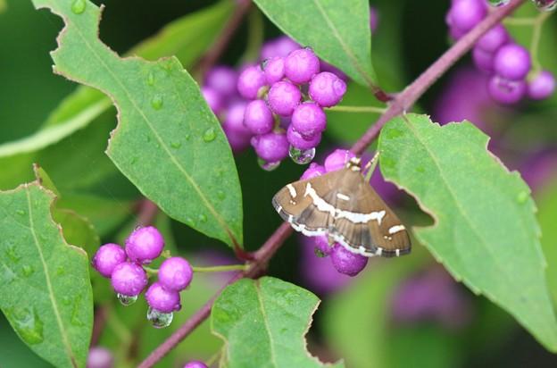 コムラサキと蝶