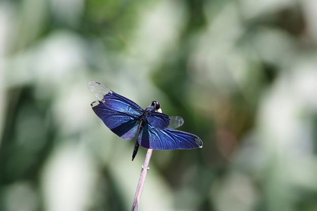 蝶トンボ2