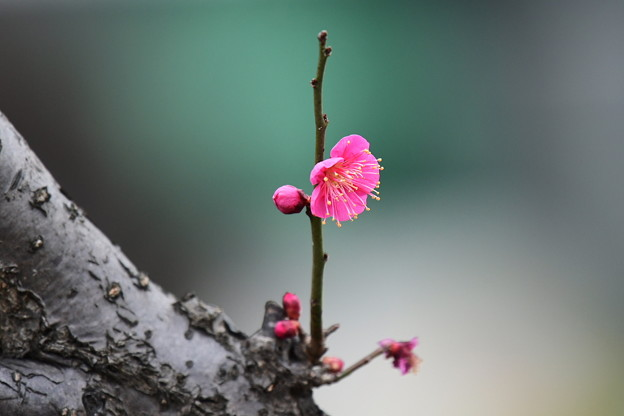 Photos: 紅梅(一重)