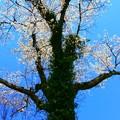Photos: 080 日立市の桜 標本木