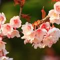 日立紅寒桜