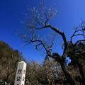 写真: 673 諏訪梅林 烈公手植えの梅