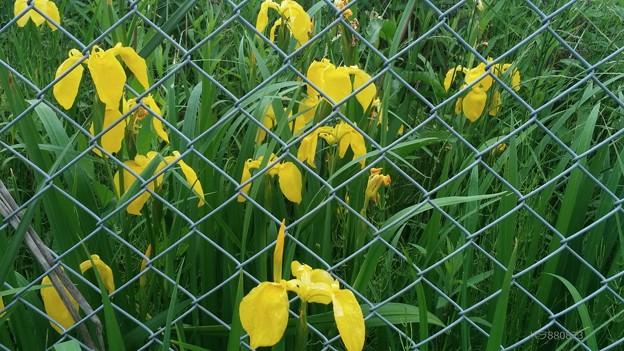咲き乱れるキショウブの花