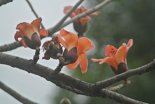空に向かって花びらを広げるインドキワタの木