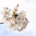 Photos: 白く染まる春  ~Glorious spring~
