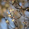 咲き出した梅