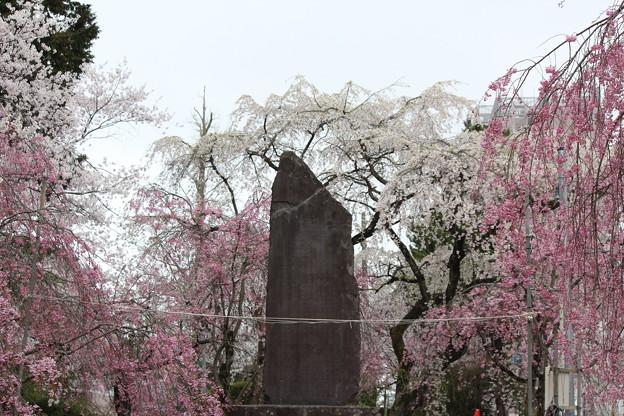 27.4.13榴岡公園の桜