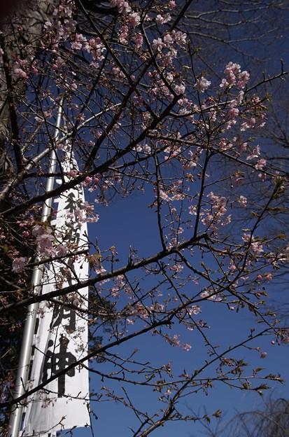 写真: 稲荷堂の河津桜