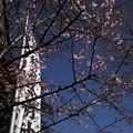 稲荷堂の河津桜