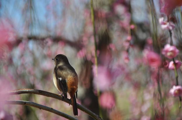写真: ジョビコちゃんのお花見