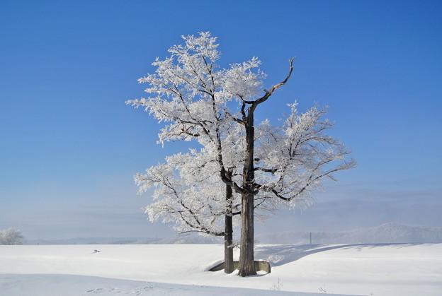 ハルニレの木