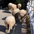Photos: 03羊のお尻を追う