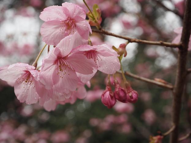 平和の使者~陽光桜