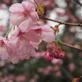 写真: 平和の使者~陽光桜