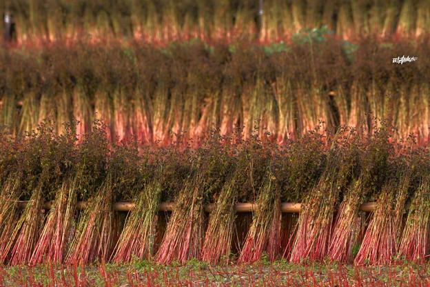 秋深く 蕎麦紅く