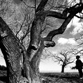 Photos: 桑の巨木