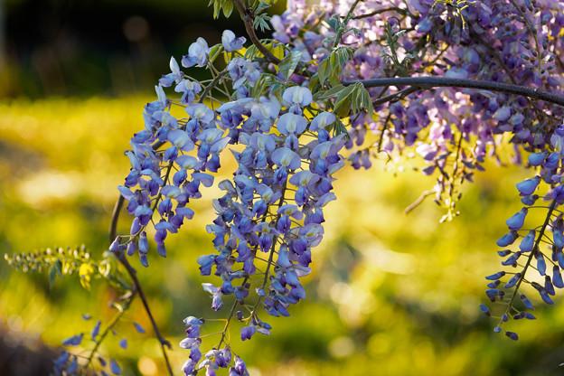 藤の花.3