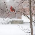 写真: Northern cardinal