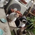 写真: 茶ブチ、黒ブチ、ミケママ、シャム風ネコ0322